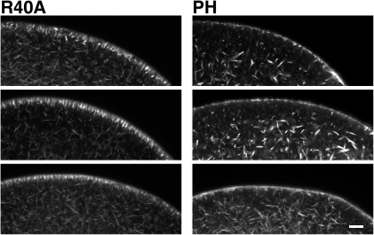 Sequestration of PIP2 by RFP-PH causes structural changes in the subplasmalemmal actin network.Mature eggs of A. aranciacus were microinjected with either RFP-PH or the R40A mutant proteins (330 µM, pipette concentration) and incubated for 25 min. The actin cytoskeleton was visualized by Alexa Fluor 488-conjugated phalloidin in three representative eggs for each treatment. Scale bar, 20 µm.