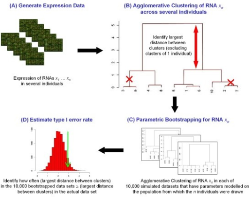 "Flow diagram of method to identify bimodally expressed transcripts from expression data. (A) Transcript abundance is quantified by microarray or RNAseq techniques. (B) On a transcript-by-transcript basis, agglomerative clustering across the dataset is carried out. The algorithm starts by assigning the same number of clusters as individuals (in this example 10 clusters were assigned since there are 10 individuals). The clusters are then progressively merged by combining the two most similar clusters, using Wards method to calculate the distance between clusters and Euclidian distance to calculate dissimilarities between the individuals. The distances between the merging clusters are recorded by the algorithm as branch ""heights"". The height values at either side of the dendrogram are removed to exclude transcripts that falsely appear to be bimodally expressed due to a single outlying individual. The maximum remaining branch height value (indicated by the red arrow) is identified for each transcript, which represents the greatest distance between the any two clusters of individuals, and is used a surrogate marker for the degree of bimodal expression for that particular transcript. (C) To estimate the probability of transcripts appearing to be bimodally expressed due to chance alone, for each transcript we make a maximum likelihood estimate of the parameters of the distribution of this transcript's abundance across the population from which the individuals being studied have been drawn. We use these parameters to generate 10,000 simulated datasets, each of which is clustered as described in (B) above. (D) In the 10,000 clusters formed from the bootstrapped data sets for this transcript, we identify how commonly the largest distance between clusters ≥ the largest distance between clusters in the actual data set. This information is shown graphically and is used generate an empirical p-value as an estimate of type I error rate."