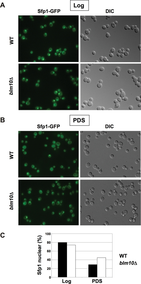 Impaired Sfp1 localization in BLM10-deleted cells after the diauxic shift. (A) SFP1-GFP (yMS928) and SFP1-GFP blm10Δ (yMS929) cells were grown in synthetic complete media. Sfp1 localization was visualized in log phase via live-cell fluorescence. Differential interference contrast (DIC) images are shown on the right. (B) Sfp1 localization in PDS phase cells was analyzed in SFP1-GFP (yMS928) and SFP1-GFP blm10Δ (yMS929) as in (A). (C) Quantification of cells with nuclear Sfp1 localization in log and PDS in WT (yMS928) and blm10Δ (yMS929) from 10 independent fluorescent micrographs with ∼500 cells each, using ImageJ software 1.42q for visualization.