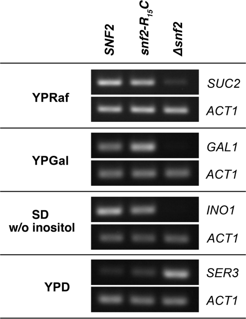 Comparative qRT-PCR analysis of the expression of typical ySWI/SNF target genes. RT-PCR analysis of mRNA levels of SUC2, GAL1 and INO1 under inducing conditions, and of SER3 under repressing conditions. The snf2-R15C mutant strain, the Δsnf2 deletion mutant and the WT strain were first grown in YPD medium, cultures were split and incubated in the indicated media.