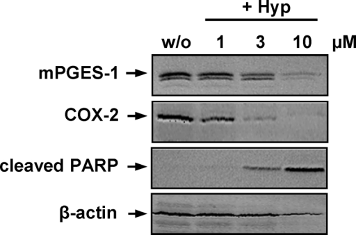 Effects of hyperforin on apoptosis and the expression of COX-2 and mPGES-1. A549 cells, 60% confluent, were incubated with 2 ng ml−1 interleukin-1β together with vehicle (DMSO) or Hyp in cell culture medium containing 2% (v v−1) fetal calf serum. Cells were harvested after 24 h, total cell lysates were prepared and analyzed for the induction of COX-2 (72 kDa), mPGES-1 (16 kDa) and cleaved PARP (89 kDa) using SDS-PAGE and Western blotting. β-Actin (45 kDa) was used as loading control. Data are representatives of two to three independent experiments.