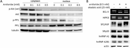 Phosphorylation of Akt kinase (activation) and PP1 phosphatase (inactivation) in relation to amiloride-altered AS mechanisms.(Panel A). Western blots show significant decreases of cytoplasmic p-Akt, nuclear p-Akt and nuclear p-PP1 in Huh-7 cells treated with amiloride at 0.3 mM and above. (Panel B) RT-PCR and western blot analyses show that pre-treatment with a PP1 inhibitor, okadaic acid, abrogated the amiloride effects on the BCL-X and HIPK3 oncogenic RNA splicing, the phosphorylation of ASF2/ASF splicing factor and the level of SRp20 in Huh-7 cells.