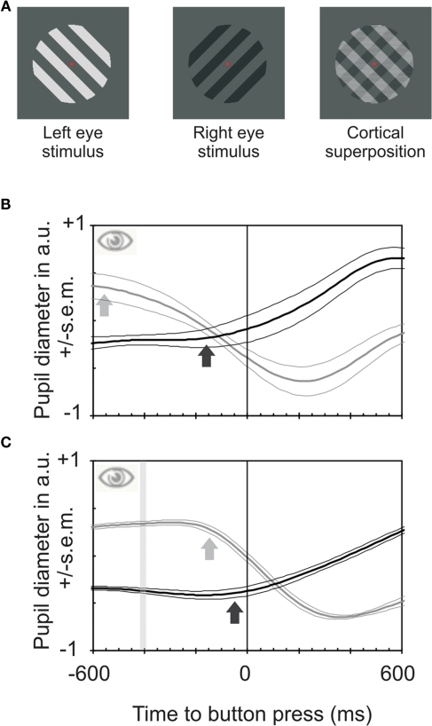 Stimuli used and pupil reactions obtained during binocular rivalry and between stimuli of differing luminances. (A) Stimuli used to elicit binocular rivalry. An oblique darker grating was projected to one eye, a perpendicular brighter one to the other eye, resulting in alternation of perception between the two stimuli. (B) Pupil reactions (means and SEM for four observers) to a change in subjective perception between the two gratings relative to time of button presses during binocular rivalry. The black line shows the relative pupil response for transitions from bright to dark and the gray line transitions from dark to bright. Pupil constrictions start on average about 590 ms before the button presses (gray arrow); pupil dilations start about 120 ms before the button presses (for movement onset estimates see Bergamin and Kardon, 2003). Hence the pupil reacts to internally triggered transitions between percepts much earlier than button presses do. (C) Pupil responses to a change in physical stimulus properties in both eyes from dark to bright or vice versa. The bar indicates the time of change of physical stimulus properties. It is an interval rather than a fixed point in time because data were averaged relative to button presses and reaction times vary slightly (both intra-individually and between observers). The constriction starts about 120 ms before the button is pressed (gray arrow); dilation starts only marginally before the button press. Hence reaction times for pupil responses and button presses are quite similar for externally caused changes of perception. The lead of pupil responses in (B) is not mainly due to a faster reaction time of the pupil.
