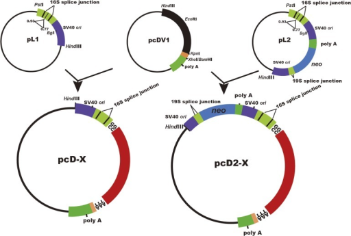 Structure of pcD-X and pcD2-X. The pcD and pcD2 vectors   Open-i