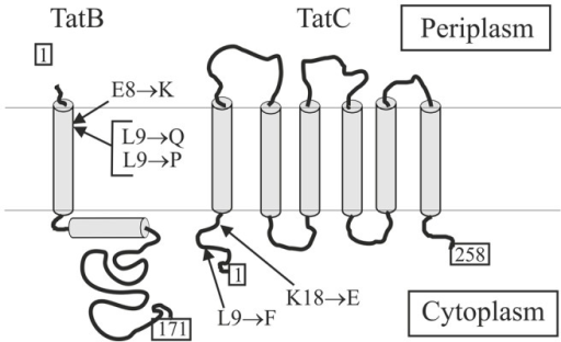 Membrane topology of E. coli TatB and TatC and positions of mutations.Arrows indicate the positions of mutations that are involved in the suppression of the TorA(D+2)-MalE and TorA(KQ)-MalE export defects.