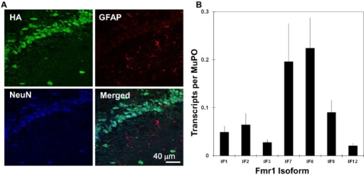 PMC3591412_pone.0058296.g003 fmr1 transcript isoforms enriched on neuron specific ri open i