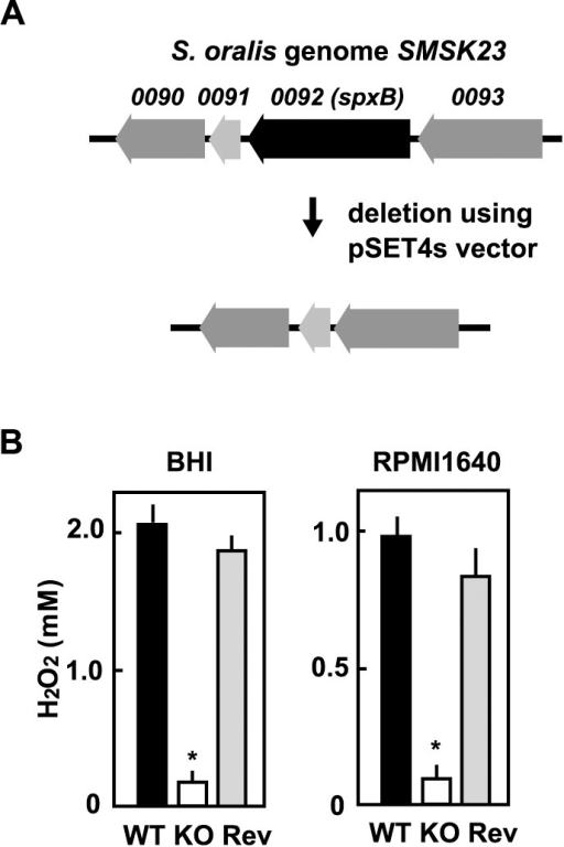Construction of S. oralis spxB deletion mutant.(A) Black arrow indicates the gene encoding pyruvate oxidase (SMSK23_0092 spxB). A targeted deletion mutant lacking this region was constructed by allelic exchange using the temperature-sensitive shuttle vector pSET4s. (B) S. oralis ATCC35037 wild-type (WT), spxB-deletion mutant (KO), or reverse mutant (Rev) was cultured in BHI broth or 5% RPMI1640 medium at 37°C for 18 h in a 5% CO2 atmosphere. Concentrations of H2O2 in culture supernatants were quantitatively determined using a hydrogen peroxide colorimetric detection kit. Data are shown as the mean ± SD of triplicate samples. *p<0.05 as compared with concentration of wild-type strain.