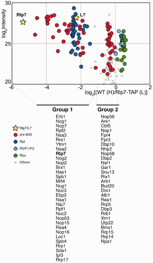 Rlp7-associated pre-ribosomal particles contain the L7 r-protein. Wild-type and Rlp7-TAP cells were mixed in equal proportions prior to complex purification. The log2 of SILAC ratios (median value of Wild-type/Rlp7-TAP peptide ratio) were plotted against the sum of the intensity of all the peptides for each protein. Dots are coloured according to protein function: pre-60S factors (red), 60S r-proteins (Rpl, blue), r-stalk proteins (P0/P1/P2, light blue), 40S r-proteins (Rps, green) and proteins of other different functions (grey). Yellow stars indicate the Rlp7 and L7 values. The identity of pre-60S factors specifically enriched (Group 1) or not (Group 2) is indicated below the graph. These factors are listed from their highest to lowest intensity values (see Supplementary Data Set S1).