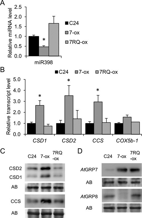 MiR398 and miR398 targets are affected in AtGRP7-ox but not AtGRP7-R49Q-ox plants. (A) Stem–loop RT-PCR of miR398. Shown are the mean ± SD of three biological replicates. Asterisks denote statistically significant differences according to Student's t-test (P < 0.05). (B) Relative transcript levels of the miR398 targets CSD1, CSD2, CCS and COX5b-1. (C) CSD1, CSD2 and CCS protein levels. AB, Amidoblack staining of the membrane to show equal loading. (D) AtGRP7 and AtGRP8 protein levels.