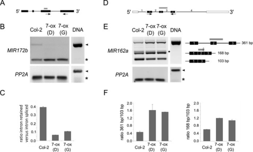 AtGRP7 affects alternative splicing of pri-miRNAs. (A) Scheme of MIR172b. Black boxes = exons, grey box = position of the pri-miRNA, thin line = introns. The arrows denote the position of the primers used in (B). (B) RNA from the AtGRP7-ox lines D and G and Col-2 wt was analysed by RT-PCR. The amplification products corresponding to the intron-retained form and the fully spliced forms are indicated by arrowheads and asterisks, respectively. PP2A served as a control. DNA = genomic DNA. (C) The ratio of intron-retained versus spliced pri-miR172b was quantified using Bioanalyzer DNA1000 chips. Shown is the mean of two reps. (D) Scheme of the non-protein-coding RNA harbouring MIR162a. Black boxes = exons, grey box = position of the pri-miRNA, open boxes = annotated 5′and 3′UTRs, thin line = introns. The arrows denote the position of the primers used in (E). (E) RNA from the AtGRP7-ox lines D and G and Col-2 wt was analysed by RT-PCR. The transcript forms corresponding to the amplification products are indicated. The rhombus denotes an alternative version of the 168 nt band generated by an alternative 3′splice site 3 nt downstream of the authentic 3′splice site. PP2A served as a control. DNA = genomic DNA. (F) The ratio of the alternative splice forms versus the spliced form was quantified using Bioanalyzer DNA1000 chips. Shown is the mean of two reps.