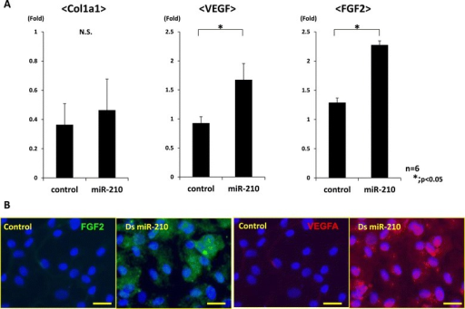Gene expression analyses in synovial cells after overexpression of miR-210. (A) Real-time PCR analysis of collagen type 1 alpha 1 (Col1a1), collagen type 2 alpha 1 (Col2a1), vascular endothelial growth factor (VEGF) and fibroblast growth factor-2 (FGF2) at 7 days after in vitro transfection of synovial cells. Expression of Col2a1 was not detected in both groups. Expression of VEGF and FGF2 was significantly higher than in the control group (*P < 0.05, N.S. (no significant difference), n = 6 for each group). (B) Immunohistochemical analysis indicates that VEGF and FGF2 were highly expressed in the miR-210 group (bar = 100 μm). These results demonstrated that miR-210 could enhance the expression of VEGF and FGF2 expression in synovial cells. ds, double stranded.