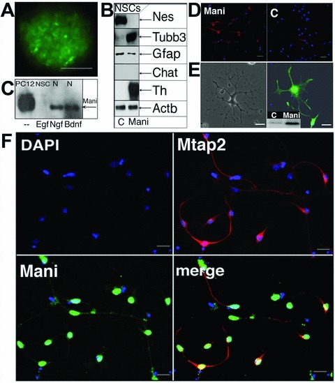 Mani induces NSCs differentiation and neurogenesis. FACS purified neurospheres overexpressing Mani grown for three passages (3P, 1P ∼4 days) in Egf. Controls (C) were mock/GFP-transfected cells. Scale bar = 100 μm (A). Western blot analysis of Mani-transfected cells (NSC-Mani, E14, 3P) showed no changes in the glial marker Gfap, but a significant increase in Tubb3 and Th expression, whereas Nestin (Nes) was down-regulated and other neuronal markers (Chat, Gad [not shown]) remained unchanged, indicating that Mani induced a specific differentiation into catecholaminergic neurons (B). Comparison of Mani expression under different conditions, as indicated (NSCs were grown in the presence of Egf or Ngf or brain-derived neurotrophic factor for 3P, N = primary neuro-progenitor/neuron culture; compare with Fig. 2B) (C). Expression of neural Tubb3 in Mani-transfected NSCs (Mani, left) and control (mock-(GFP)-transfected) NSCs (C, right) upon differentiation in NB/B27 without Egf. Scale bar = 100 μm (D). Expression of Mbp in Mani-transfected and differentiated (in NB/B27) NSCs. Left panel: phase contrast microscopy. Right panel: Fluorescence microscopy of an Mbp-stained cell. The small panel shows the Western blot analysis of Mbp expression in Mani-transfected (= Mani) cells compared with mock/GFP-transfected (= C) NSCs. Scale bar = 50 μm (E). Mani-transfected NSCs were grown for 3P prior to exposure to differentiation medium (in NB/B27). Cells were then stained for Mani and Mtap2 to demonstrate the neuronal character of differentiated cells. Green = Mani, red = Mtap2, blue = nuclear DAPI stain. Scale bar = 100 μm (F).