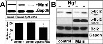 Mani mediates neuronal survival. Effect of Mani expression on the survival of PC12 cells. Upper panel: Western blot analysis of Mani expression, which was down-regulated via application of the siRNA method. Lower panel: analysis using the ELISA-Cell-Titre 96® AQueous assay as described under 'Materials and methods' (Supplementary Information). Data represent mean ± S.D. of four independent experiments, each performed in duplicates (*P < 0.05 compared with controls [mock/GFP transfected]) (A). Mani-overexpressing cells demonstrated higher levels of phosphorylated Bcl2 at Ser70 but decreased phosphorylation at Thr56, even without Ngf stimulation indicating Mani's anti-apoptotic function [23]. Cells were grown and stimulated as indicated for 6 days with 100 ng/ml Ngf. Controls (C) were mock/GFP-transfected cells (B).