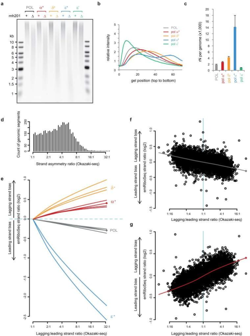 Quantification of in vivo ribonucleotide incorporation by replicative polymerasesa, b, Representative alkaline gel electrophoresis of genomic DNA from yeast strains with mutant replicative DNA polymerases (a), with accompanying densitometry plots (b). Embedded ribonucleotides are detected by increased fragmentation of genomic DNA following alkaline treatment in an RNase H2-deficient (Δrnh201) background. Elevated rates are seen with all three mutant polymerases (indicated by *, as defined in Extended data Fig. 3a), and are reduced in Pol-ε′ which contains the point mutation M664L, a mutation that increases selectivity for dNTPs over rNTPs27. c, Quantification of average ribonucleotide incorporation in polymerase mutants from n=4 independent experiments. DNA isolated from mid-log phase cultures; error bars, SE. Overall ribonucleotide content is the product of incorporation frequency and the total contribution of each polymerase, resulting in the total ribonucleotide content detected to be highest for Pol-ε* (14,200 per genome), followed by Pol-δ* (4,300 per genome), Pol-α* (2,700 per genome), POL (1,900 per genome) and Pol-ε′ (860 per genome). d, The majority of the yeast genome exhibits directional asymmetry in replication (median 4:1 strand ratio). Count of genomic segments calculated for consecutive 2,001 nt windows over the yeast genome based on reanalysis of OF sequencing data17 denoted as 'Okazaki-seq'. The strand asymmetry ratio was calculated after re-orienting all regions such that the predominant lagging strand was the forward strand. e-g, Genome-wide quantification of strand-specific incorporation of wild type and mutant replicative DNA polymerases determined by emRiboSeq reflects their roles in leading and lagging strand replication. A close to linear correlation with Okazaki-seq strand ratios is observed. The strand ratio preference for lagging strand ribonucleotide incorporation for independent libraries (including stationary phase libraries for POL and Pol-α*, marked by diamonds) was plotted against the lagging:leading strand ratio determined using Okazaki-seq data (only ratios ≥ 1:1 for the latter are shown for clarity). There was high reproducibility between experiments in strand ratio preferences. Lines are lowess smoothed (see Methods) representations of the full datasets (representative examples given in f and g). f, g, Scatter plots illustrating the individual strand ratio data points for 2,001 nt windows, for stationary phase POL (f) and Pol-α* (g) yeast. Pearson's cor=0.49, p < 2.2×10−16 for POL (f); cor=0.75, p< 2.2×10−16 for Pol-α* (g).