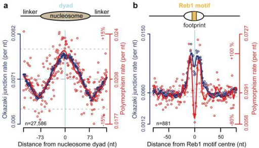 Elevated substitution rates at OJsa, b, Nucleotide substitution rates (red) closely correlate with elevated OJ site frequency (blue) at (a) nucleosome and (b) Reb1 binding sites. S. cerevisiae polymorphism rates per nucleotide computed using sequences from nucleosome and Reb1 binding sites. Individual data points, open circles. Solid curves, best fit splines. Mean, dashed grey line; ±10% dotted grey lines.