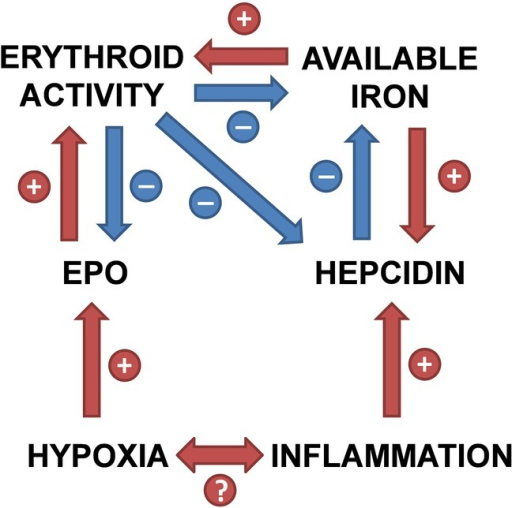 Relationships between hypoxia, inflammation and iron homoeostasis, mediated by hepcidin (EPO, erythropoietin).
