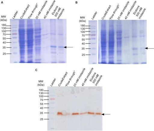 Production and purification of the recombinant B6T173 (ZmPrx35) protein in E. coli (using the vector pET19b). (A) Sequential staining (guaiacol- H2O2 + Coomassie R-250) of the POD fractions obtained by IMAC affinity purification. (B) Coomassie R-250 staining of the POD active fractions. (C) Guaiacol-H2O2 staining of the same POD fractions. In all cases, 20 μL of protein solution were loaded. Arrows indicate bands with POD activity.