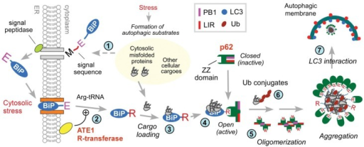 Stress-induced N-end rule pathway regulation of autophagy.