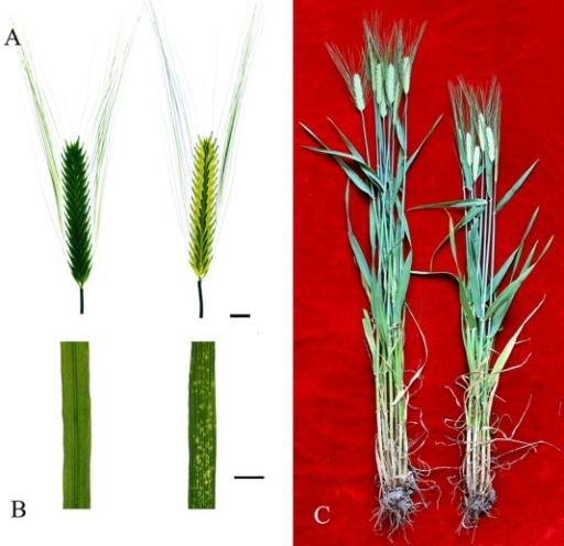 Phenotype of wild-type Supi 3 and mutant wh.(A) spikes, (B) leaf, and (C) whole plant in the filling stage. Supi 3 on the left and wh on the right. The bar represents 1 cm.