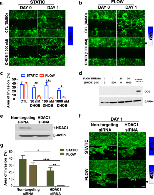 HDAC1 enables angiogenic invasion under flow.Blocking HDAC1 with the selective HDAC1 inhibitor DHOB (1000 nM) for 24 h (a) under static conditions (without a VEGF gradient) has no effect on angiogenic invasion, while (b) in the presence of interstitial flow and a VEGF gradient sprouting is significantly reduced. The dashed arrow indicates the flow direction. Control devices (treated with DMSO) showed significant invasion under static and flow conditions. (c) Quantification of invasion (displayed as the % of spout area) after one day of continuous DHOB treatment under static and flow conditions. Data represent mean ± SEM, *p < 0.05, **p < 0.01, ***p < 0.001. (d) DHOB at 1000 nM did not promote EC apoptosis after 1 and 24 h of continuous perfusion as determined by western blot analysis for cleaved caspase 3. (e) Knockdown of HDAC1 was achieved by siRNA transfection. (f) Silencing HDAC1 with siRNA under static (no VEGF gradient) conditions (top row) has a small effect on angiogenic sprouting, while in the presence of interstitial flow and a VEGF gradient (bottom row) sprouting is significantly reduced. Exogenous VEGF (50 ng/ml) was also included in the media. The dashed arrow indicates the flow direction. In contrast, control devices with cells transfected with non-targeting siRNA proceeded with significant invasion under static and flow conditions. (g) Quantification of the % of invasion area after one day of under static and flow conditions for HDAC1 and non-targeting siRNA treated endothelial cells. Data represent mean ± SEM, *p < 0.05, **p < 0.01, ****p < 0.0001.