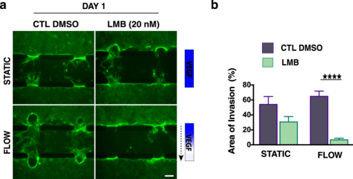 Inhibition of p-HDAC1 nuclear export inhibits angiogenic invasion.(a) Angiogenic invasion into the 3-D collagen matrix under static conditions (no VEGF gradient) (top row) is not inhibited by a 24 h LMB (20 nM) treatment. Under flow and a VEGF gradient (bottom row), LMB treatment results in reduced sprouting and invasion. Dashed arrow indicates the direction of flow. Control (DMSO) devices (both static and flow) proceeded with extensive sprouting. (Scale bar, 100 μm). (b) Quantification of the % of invasion area under static and flow in response to 24 h of continuous leptomycin B (LBM) treatment. Data represent mean ± SEM; *p < 0.05.