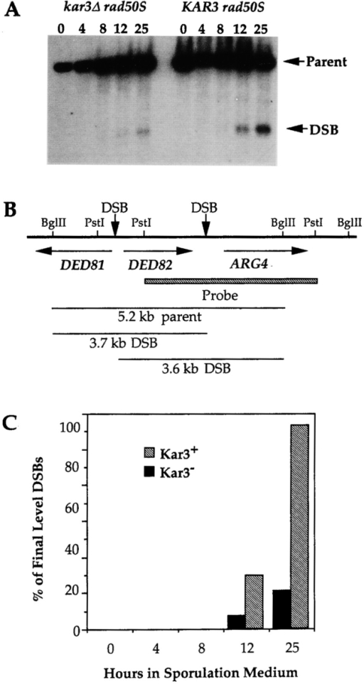 kar3 cells are capable of initiating DSBs. Isogenic  KAR3 (DC99-1) or kar3 (DC99-1C) cultures, homozygous for  the rad50S-K181 allele were pregrown and induced to undergo  synchronous meiosis. Aliquots were removed at the number of  hours indicated after transfer to sporulation medium and DNA  was extracted. The DNA was digested with BglII, subjected to  electrophoresis on a 0.7% agarose gel, and analyzed by Southern  blot hybridization using as a probe the ARG4 sequences indicated in (B). (A) The predominant DSB and parental fragments  are labeled with arrows. (C) Quantification of the DSB products.  The fraction of radioactivity in each lane that was localized to the  DSB products was quantified. The percent of DSB product in  each lane was normalized to the final level of DSB product produced in the KAR3 strain. In the kar3 mutants, the DSBs accumulate to 18.6% of levels detected in the isogenic KAR3 strain.