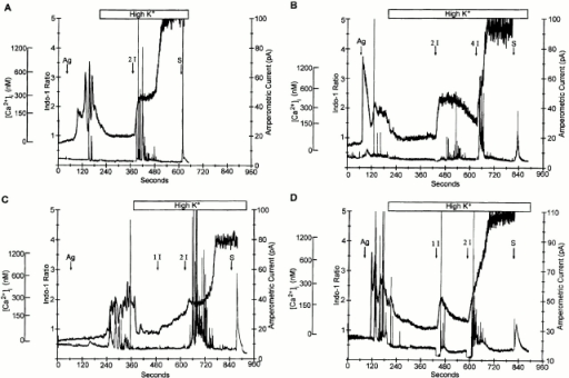 4-Br A23187 also triggers exocytosis when ICRAC is inhibited by depolarizing the cells in high K+. The increase in [Ca2+]i and exocytosis induced by 1 μg/ml antigen (Ag) were inhibited in individual RBL-2H3 cells upon exposure to high potassium saline (140 mM). Addition of 1 or 2 μM 4-Br A23187 (1 I or 2 I) was effective in triggering additional secretory events at [Ca2+]i levels similar to those induced by antigen. Again, no secretory events were observed when [Ca2+]i reached very high levels in response to 4-Br A23187. Individual cell responses showed that depolarization in high K+ did not entirely inhibit the Ca2+ response, whereas exocytotic events were completely abolished. Addition of 0.05% saponin (S) lysed the cells and released the remaining serotonin. The 4 cells shown are representative of 12 cells in which secretion was seen. 10 cells responded to both antigen and ionophore, one responded to antigen but not ionophore, whereas one cell failed to secrete in response to antigen but did so when ionophore was added.