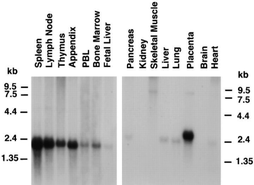 The expression of STRL33 in human tissues. Blots were prepared by the supplier (Clontech, Palo Alto, CA) from 1.2% agarose–formaldehyde gels containing ∼2 μg poly(A)+ RNA per lane. Hybridizations  were done using a 32P-labeled STRL33 ORF probe and blots were  washed according to the instructions of the manufacturer. The blot prepared from lymphoid tissue (left) was exposed for 2 d, and the blot from  other selected tissues (right) was exposed for 8 d.