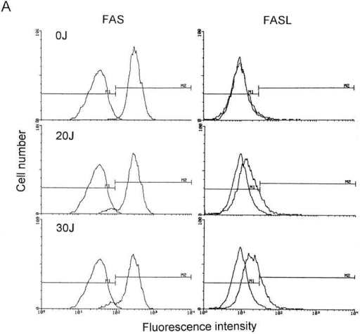FAS and FASL expression in UVA-irradiated T helper cells. T cells were exposed to increasing doses of UVA radiation (0–30 J/cm2). 4 (A)  and 16 (B) h after exposure, cells were analyzed for FAS and FASL surface expression by FACS® analysis as described in Materials and Methods. Data are  given as histograms of cell number versus fluorescence intensity and represent one of five essentially identical experiments.