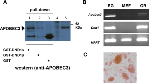 DND1 and APOBEC3 in mouse tissues.(a) DND1 interacts with endogenous APOBEC3. Mouse testis lysates were incubated with GST-DND1α (lane 1), GST-DND1β⪽ (lane 2) or GST protein (lane 3) and incubated with Sepharose 4B beads. The beads were washed and the contents eluted into loading dye prior to electrophoresis and immunoblotting with rabbit anti-mouse APOBEC3 antibody. Control lanes on the left are cell lysates from untransfected cells (lane 4) and lysates from cells transfected with myc-APOBEC3 expression constructs (lane 5). (b) Dnd1 and Apobec3 are expressed in embryonic germ (EG) cells and genital ridges. RT-PCR for Apobec3, Dnd1 and HPRT (hypoxanthine-guanine phosphoribosyltransferase) on total RNA from EG cells, mouse embryo fibroblasts (MEF), and E13.5 genital ridges (GR). (c) EG cells in culture, stained with alkaline phosphatase (orange clusters), growing on MEF cell layer.