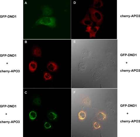 Mouse DND1 and APOBEC3 co-localize to peri-nuclear sites in the cell cytoplasm.(a) COS7 cells were transfected with expression constructs for GFP-Dnd1 for visualization of green fluorescence due to GFP-DND1. Cells were fixed with 2% paraformaldehyde before visualization of fluorescent signal by confocal microscopy. (d) COS7 cells were transfected with expression constructs for mCherry-Apobec3 for visualization of red fluorescence due to mCherry-Apobec3 by confocal microscopy. (b,c,e and f) COS7 cells were co-transfected with expression constructs for GFP-DND1 and mCherry-Apobec3. (b) Red fluorescence due to mCherry-APOBEC3 was imaged using red filter (excitation at 548 nm). (c) Green fluorescence due to GFP-DND1 was imaged using green filter (excitation at 488 nm). (f) The merged image of cells co-transfected with GFP-Dnd1 and mCherry-Apobec3, which shows GFP and mCherry signal co-localized at the peri-nuclear regions of the cells. (e) The DIC (differential interference contrast) image of the cells.