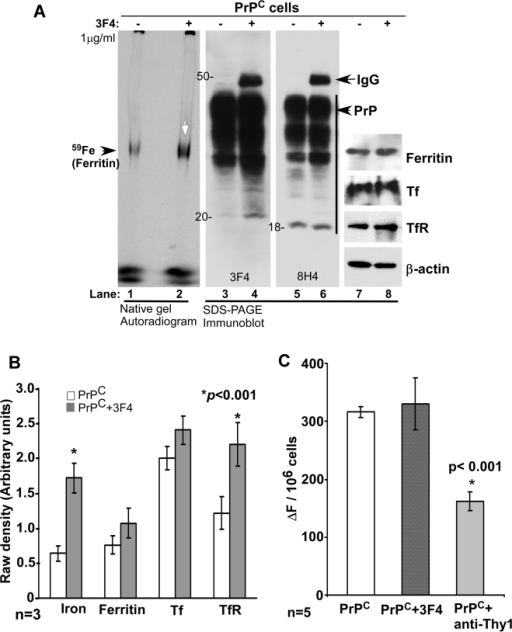 Endocytosis of PrP increases ferritin iron content.(A) PrPC-cells exposed to 1 µg/ml of 3F4 for 5 days were radiolabeled with 59FeCl3 for 4 hours, and lysates were fractionated on a non-denaturing gel and auto-radiographed (lanes 1 and 2). Equal aliquots of the same samples were boiled in SDS-containing sample buffer and fractionated in duplicate by SDS-PAGE followed by immunoblotting with PrP specific antibodies 3F4 and 8H4 (lanes 3–6). Subsequently, the membranes were re-probed for ferritin, Tf, TfR, and β-actin (lanes 7 and 8). (B) Quantification by densitometry shows an increase in ferritin iron and TfR levels, and insignificant change in Tf levels in 3F4 exposed cells. Values are mean±SEM of three independent experiments. *p<0.001 compared to untreated cells. (C) Estimation of LIP after exposing the cells to 1 µg/ml of 3F4 or anti-Thy-1 antibody for 5 days shows insignificant difference between untreated and 3F4 treated PrPC cells, and a decrease in anti-Thy-1 treated cells. *p<0.001. n = 5.