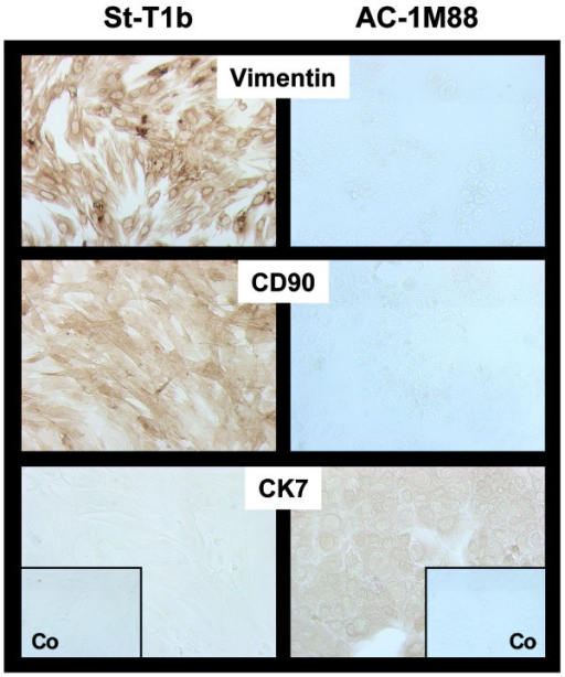 Phenotypic markers of St-T1b cells. St-T1b were grown to near confluency and subjected to immunocytochemical analysis using antibodies to vimentin, CD90 and cytokeratin-7 (CK7). The trophoblast-derived cell line AC-1M88 was stained alongside as a control. Control insets (Co) shows staining with omission of the primary antibody (original magnification, 100×).