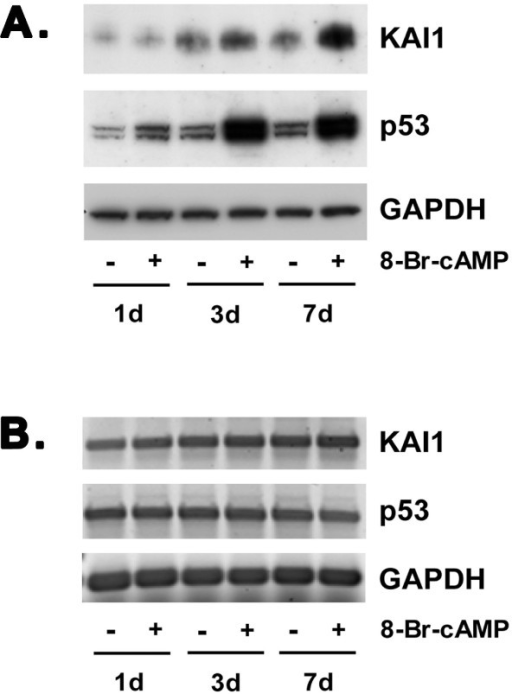 Induction of KAI1 and p53 protein expression in decidualizing St-T1b cells. A) Total protein was harvested from St-T1b cells after 1, 3, or 7 d of treatment with 8-Br-cAMP and from untreated cells. Western blot analysis was performed for KAI1 and p53, and for GAPDH as a loading control. B) RNA was harvested from the same cultures as described in panel A and analyzed for KAI1, p53 and GAPDH transcript levels by RT-PCR.