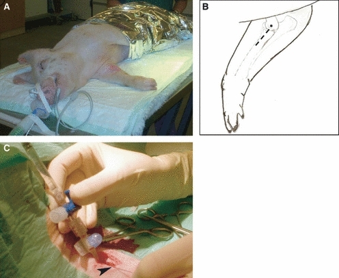 The inoculation procedure. (A) Anaesthetized pig in right lateral recumbency with the right medial ante-brachium prepared for surgery. (B) Schematic drawing, the skin incision is indicated by the punctured line and the asterisk (*) shows the location of the bone protuberance epicondylus medialis humeri. (C) Inoculation through a catheter equipped with a three-way stopcock inserted into the right brachial artery fixated with a ligature ().