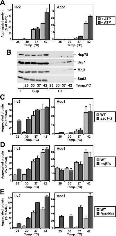 Protection from aggregation by the mitochondrial Hsp70 and Hsp60 chaperone systems. (A) Dependence of aggregation on mitochondrial ATP levels. Isolated mitochondria were lysed and then either supplied with 5 mM ATP (+ATP), or treated with apyrase to deplete endogenous ATP (–ATP). After heat treatment at indicated temperatures, aggregates were spun down by ultracentrifugation, and the relative amount of aggregated protein was determined. (B) Isolated mitochondria were treated at indicated temperatures and then analyzed after ultracentrifugation at 125,000 × g. Total (T), supernatant (Sup), and pellet (Pel) were subjected to SDS–PAGE, Western blotting, and immunodecoration with specific antisera against the indicated mitochondrial proteins. (C, D) Aggregation in Hsp70 mutants. Isolated mitochondria from wild-type (WT) and either conditional mutant ssc1–3 (C) or deletion mutant mdj1Δ (D) were analyzed in the aggregation assay. Values shown are means ± SEM of the ratio of protein amount in the pellet compared with total mitochondrial lysate. (E) Aggregation in mitochondria from temperature-sensitive strain MIF4 after inactivation of the Hsp60 chaperone.