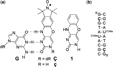 (a) Structures of phenoxazine-derived nitroxide spin labels Ç and ç, and the unmodified phenoxazine derivative 1. The spin labels are shown base-paired with guanine (G), with hydrogen bonds indicated by dashed lines (b) Sequence and secondary structure of the duplex DNA used to obtain a high-resolution crystal structure of a Ç-containing DNA helix. dR = 2′-deoxyribose. 2′OMeU = 2′-O-methyluridine.