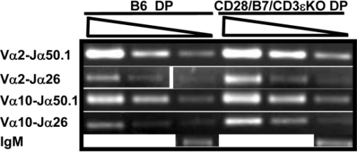 TCRα rearrangement is equivalent in DP cells generated via pre-TCR- or CD28/B7-dependent development.300, 100, and 30 ng of DNA prepared from FCM sorted DP cells was analyzed by PCR to detect the indicated Vα-Jα rearrangements. The PCR reaction for unrearranged IgM was performed using 10 ng DNA. The results presented here comparing TCRα rearrangements in B6 and CD28/B7/CD3εKO DP cells were analyzed in the same experiment and are representative of three experiments performed using DNA prepared from five to six B6 or CD28/B7/CD3εKO mice.