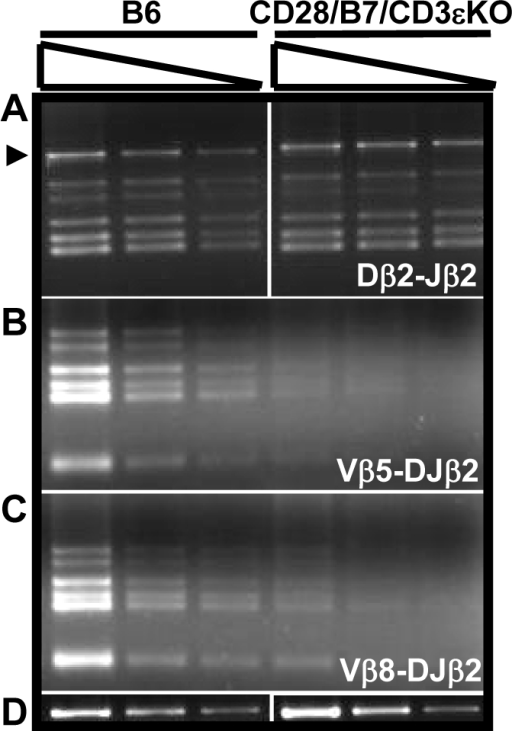 CD28/B7-dependent development permits Dβ2-Jβ2 rearrangement but substantially inhibits V-DJβ2 rearrangement in DP thymocytes.100, 30, and 10 ng of DNA prepared from FCM sorted DP cells was analyzed by PCR to detect (A) Dβ2-Jβ2 rearrangements, (B) Vβ5-DJβ2, or (C) Vβ8.1-DJβ2 rearrangements. The PCR for unrearranged IgM, the loading control, was performed using 10, 3, and 1 ng of DNA (D). The results shown are representative of three experiments performed using DNA prepared from five to six B6 or CD28/B7/CD3eKO mice.