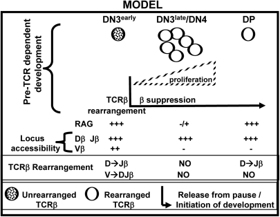 Model: The requirement for pre-TCR signaling enforces an essential pause in DN cell development.