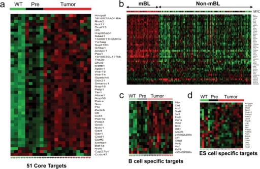 Myc core target gene signature increases with the neoplastic switch to frank lymphoma in vivo.(A) Heatmap showing expression levels of the 51 Myc core target genes in wild-type, pre-malignant Eμ-Myc (4–6 week old) littermates and of Eμ-Myc lymphoma. (B) Clustering of human molecular Burkitt's lymphoma (mBL) and non-mBL samples using the 51 core target genes. (C) and (D) Heatmaps showing expression levels of B cell restricted (C) or ES cell restricted (D) upregulated Myc target genes in the mouse B cell samples. Green – low expression; Red – high expression.