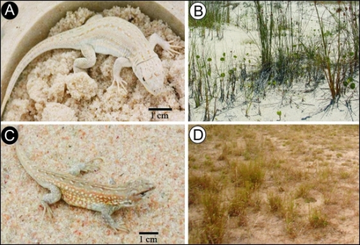 South American sand lizards and their habitat. A, Liolaemus occipitalis (Photo: André Martins), B, pale coastal-dune substrate; C, L. arambarensis (Photo: Márcio Borges-Martins), D, darker inland sandy substrate.