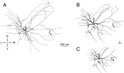 Dendritic morphology and morphoelectrotonic transforms of a cervical motoneuron. Morphology (A) and METs (B) and (C) of the same MN (C-167) with homogeneous (Rms = Rmd) and inhomogeneous (Rms < Rmd) soma-dendrite membranes constrained by the physiological 5 MΩ somatic input resistance of the MN for both METs. Arrows 1 and 2 point to homologous proximal (red) and distal (green) dendritic branches where changes during METs are visibly non-proportional to their geometrical sizes (for quantitative analysis see body text). Arrows labeled by S point to the center of the soma (its entire shape is not shown in the figures). D-dorsal, V-ventral, M-medial, L-lateral directions. Note the different size of the MET with our choice of the physiologically constrained pair of Rms-Rmd values in the inhomogeneous soma-dendritic membrane (C) relative to the MET of the same MN with homogeneous membrane (B) drawn to a common scale of space constants. Both METs show attenuations of somatopetal PSP propagation ('Vin mode' in NEURON) at DC input (frequency = 0 Hz), recording electrode was at mid-soma, stimulating electrode was at mid-points of dendritic compartments. Dendritic and somatic specific membrane resistances (Rmd and Rms) were equally 8348 Ωcm2 for the homogeneous soma-dendritic membrane, while for the MET with inhomogeneous membrane Rmd and Rms were 20000 and 1046 Ωcm2 respectively. With these Rms and Rmd values the somatic input resistance was 5 MΩ in both membrane models of the MN.
