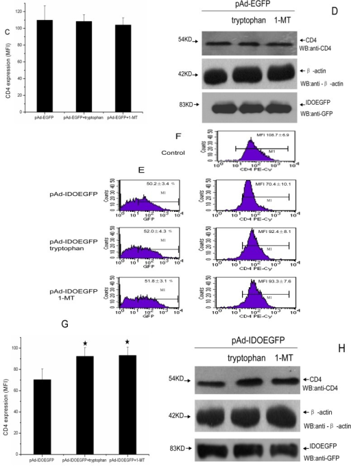 Addition of tryptophan and IDO inhibitor partially restored IDO induced downregulation of CD4 expression. C8166 cells were infected with either pAd-EGFP or pAd-IDOEGFP and added with either 200 μM tryptophan or 800 μM 1-MT at the time of infection. At 60 h post infection, the cells were harvested and stained with PE-conjugated anti-CD4 monoclonal antibody. FACS analysis was used to determine the efficiency of infection (A,E) and the cell surface CD4 expression (B,C,F,G) in untreated, pAd-EGFP or pAd-IDOEGFP infected C8166 cells added with tryptophan or 1-MT or without. Pane A and pane B illustrate the results from two-color (PE and GFP) channel analysis, whereas pane C depicts the quantitative analysis of CD4 expressing levels in pAd-EGFP infected C8166 cells added with or without tryptophan or 1-MT. Pane E and pane F illustrate the results from two-color (PE and GFP) channel analysis, whereas pane G depicts the quantitative analysis of CD4 expressing levels in pAd-IDOEGFP infected C8166 cells added with or without tryptophan or 1-MT. Data are shown as mean ± SD, representative of three similar experiments. (D,H) The expression of cell surface CD4 was carried out by Western blot analysis. The plasmatic membrane proteins prepared from C8166 cells infected with either pAd-EGFP or pAd-IDOEGFP and added with tryptophan or 1-MT or without for 60 h, were fractionated by SDS electrophoresis on 8% acrylamide gel and electrotransferred onto PVDF membrane. CD4 was detected using mouse monoclonal anti-human CD4 antibody at a concentration of 1 μg/mL in pAd-EGFP (D, upper line) or pAd-IDOEGFP (H, upper line) infected C8166 cells. In parallel, the cell lysate (with RIPA buffer) from the same amount of these cells were fractionated by SDS-PAGE. EGFP or IDOEGFP protein was detected by using purified mouse monoclonal anti-GFP antibody at a concentration of 1:1000 and β-actin was detected using rabbit polyclonal anti-β-actin antibody at a concentration of 1:300 in pAd-EGFP (pane D, middle and low lines) or pAd-IDOEGFP (H, middle and low lines) infected C8166 cells. ★p < 0.05, compared with pAd-IDOEGFP. Abbreviations: EGFP = enhanced green fluorescent protein; IDO = indoleamine 2,3-dioxygenase; MFI = mean fluorescence intensity; 1-MT = 1-methyl-dl-tryptophan; pAd-EGFP = recombinant adenovirus containing EGFP gene; pAd-IDOEGFP = recombinant adenovirus containing IDOEGFP gene; SDS-PAGE = sodium dodecyl sulfate-polyacrylamide gel electrophoresis.