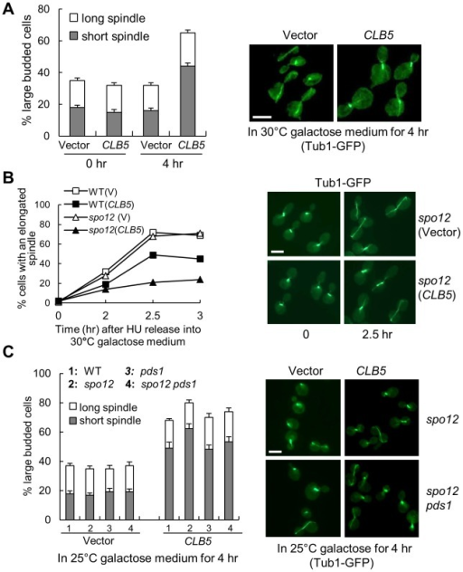 S-phase CDK negatively regulates spindle elongation.A. Overexpression of S-phase cyclin CLB5 leads to accumulation of cells with a short spindle. TUB1-GFP cells with a control vector or a PGALCLB5 plasmid were grown in raffinose medium to log phase and then shifted into 30°C galactose medium for 4 hrs. The budding index and the percentage of cells with a short (<3 µm) or long spindle are shown in the left panel. The spindle morphology in some representative cells (4 hr in galactose) is shown in the right panel. The experiment was repeated 3 times. The scale bar is 5 µm. B. Overexpression of CLB5 blocks spindle elongation in cells released from HU arrest. The G1-arrested cells with the indicated genotypes were released into 200 mM HU medium and incubated at 30°C for 2 hr. After HU was washed off, the cells were released into 30°C galactose medium and collected over time to examine spindle morphology. The percentage of cells with elongated spindle (>3 µm) is shown in the left panel (n>100). The spindle morphology in some representative cells at time 0 and 2.5 hr is shown in the right panel. Scale bar, 5 µm. C. Deletion of PDS1 gene does not suppress the spindle elongation defects in cells with high levels of Clb5. TUB1-GFP cells with the indicated genotypes were grown in raffinose medium and then shifted to 25°C galactose medium for 4 hr. The experiment was repeated 3 times and the percentage of large budded cells with a short or long spindle is shown in the left panel. The spindle morphology in some representative cells is shown in the right panel. Scale bar, 5 µm.