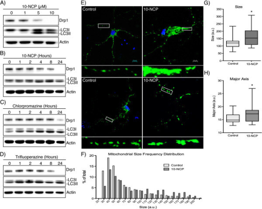 Inducing autophagy decreases Drp1 levels in rat-derived striatal neurons. (A) E18 rat-derived striatal neurons were incubated with 10-NCP at the concentrations indicated for 12 hours. (B) Neurons were incubated with 5 μM 10-NCP for the indicated times. (C and D) Chlorpromazine and Trifluoperazine (5 μM) was incubated for the times indicated followed by Western blotting. (E) Striatal neurons were incubated with 10-NCP for 12 hours along with transduction of CellLight Mitochondria GFP to allow labeling and visualization of mitochondria. (F) Frequency distribution of mitochondrial size in control and 10-NCP treated neurons as quantitated from confocal immunofluorescent images using the Mitochondrial Morphology plug-in for ImageJ (n > 500 for each condition, X-axis truncated at 200). (G and H) Box and whisker plot (with whiskers representing 5-95th percentile) of the average mitochondrial size and major axis per neuron (n = 20). *P < 0.05.