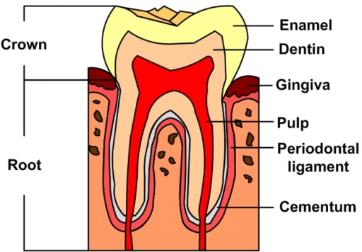 Schematic diagram of a tooth structure open i schematic diagram of a tooth structure ccuart Gallery