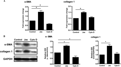 Effect of the actin cytoskeleton reorganization induced by Jas or Cyto D on the activation of HSC-T6 cells. (A) HSC-T6 cells were treated with dimethylsulfoxide, Jas or Cyto D, respectively. The gene expression of α-SMA and collagen type 1 was assessed by the quantitative polymerase chain reaction. Data were analyzed using the 2−ΔΔCt method. (B) The protein expression of α-SMA and collagen type 1 was assessed by western blot analysis. Following treatment, cell lysates were resolved using 12% SDS-PAGE, followed by transfer to a polyvinylidene fluoride membrane. Western blot analysis was performed with specific antibodies and each band was detected using enhanced chemoluminescence reagent. Data are expressed as the mean ± standard error of five experiments. *P<0.05. α-SMA, α-smooth muscle actin; IOD, integrated optical density; Cyto D, cytochalasin D; Jas, jasplakinolide.