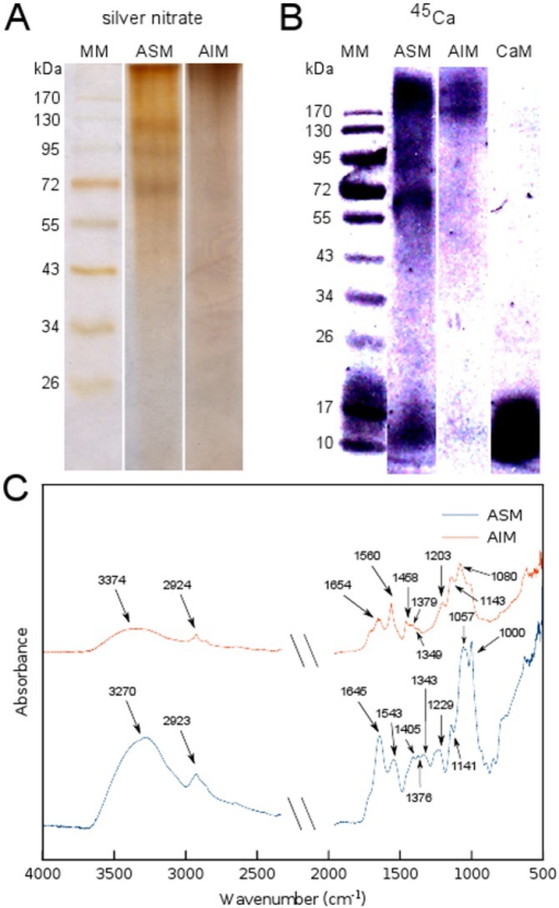 Molecular composition of the skeletal organic matrix from A. millepora.(A) Analysis of electrophoresis on gel after AgNO3 staining.(B) PVDF membrane revealed by autoradiography with 45Ca, calmodulin (CaM)was used as positive control. (C) Infrared absorption spectra of ASM and AIM fractions with assignment of the main peaks. MM – Molecular marker, ASM – Acid soluble matrix, AIM – Acid insoluble matrix.