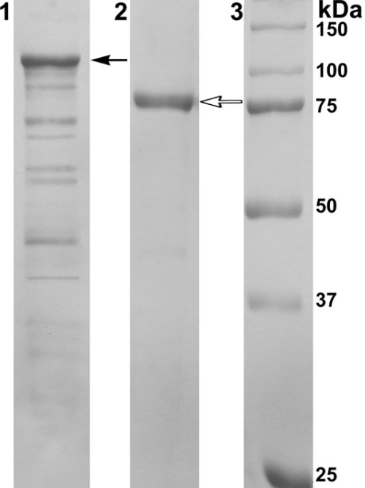 Results of 12.5% SDS-PAGE electrophoresis. Line 1: Cell extract of E. coli Rosetta(DE3)/40Gal; Line 2: α-PsGal after final purification step; Line 3: MW-standards. Filled arrow indicates the band corresponding to the chimeric protein with DsbC overhang (112.5 kDa); empty arrow indicates the band corresponding to the mature protein after enterokinase treatment (80 kDa).